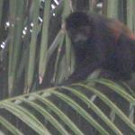 Direkt vor Haus sin Affen