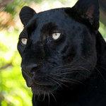 Amos the Black Leopard