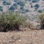 Cheetah - the last in the park - last mohicane?