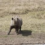 Angry and charging black rhino