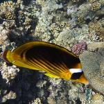 poisson dans le corail