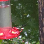 puff-legged hummingbirds