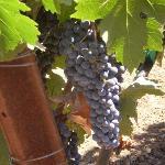 Tasting the grapes at Robinson Family Winery