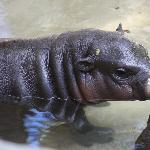 An adorable baby hippo.  This was her first day on display!