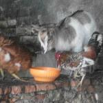 una delle due splendide caprette nel pollaio