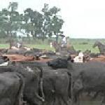 arreo de ganado