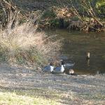 落合川の水鳥