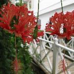 Les hybiscus du jardin