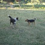Unbroken dogs running around the property