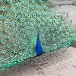 the peacock, walking around