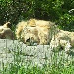 lions sleeping in the sun