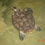 Turtle Hatchery - Kosgoda
