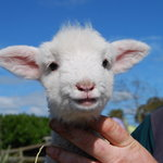 Little lamb in spring