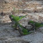 i pappagallini verdi che ci cono nella pineta di fronte all hotel