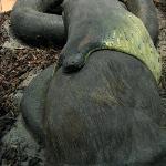 Anakonda frißt Wasserschwein