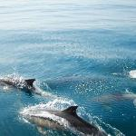 algarve dolphins