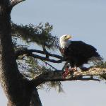 Eagle lunch. new years day. Taken at Bar view, Tillamook bay, Oregon