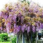 Spring Wisteria at Inn at the Park