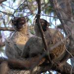 A pair of Brown Lemurs