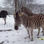 Zebra in winter 2010