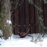 Pheasant overwintering in garden