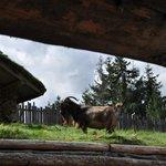 Wahrzeichen: Ziege auf dem Dach
