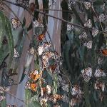 Monarch Butterflies cluster together on the pines and eucalyptus trees of the Sanctuary