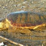 Meeresschildkröten Anamur
