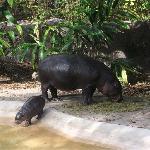 Baby Hippo Born Nov 2010