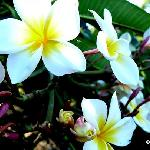 National flower of Nicaragua.