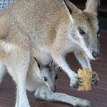 Edwina, the friendly Wallaby