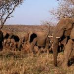 Breeding herd of Welgevonden Elephant
