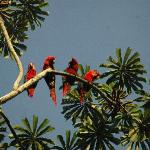 a family of macaws