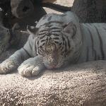 White Tiger!