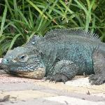 Blue Iguana Tootsie posing in the sun on the Botanical Garden path