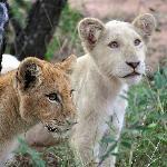 Elandela Reserve : lion cubs
