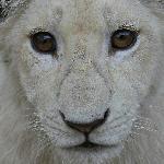 Elandela Reserve : White lion cub