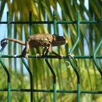 Das Camealeon beaobachtet uns beim Fruehstueck