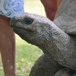 Clara la tortue géante