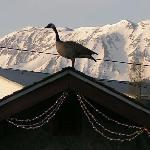 Goose On Our Well House