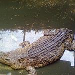 Tailless Crocodile