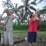 tourists who are drinking young coconut in the rice fields