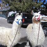 Dolly and Willow llamas to walk