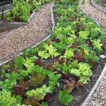 Lettuce in Organic Kitchen Garden