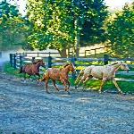 Horses running in from the meadow