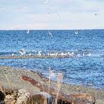 Qualicum Beach Gulls