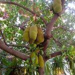 The Jack fruit