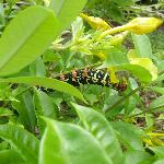 le futur papillon rasta