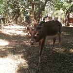 Black buck in the compound