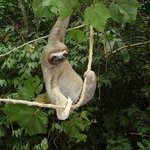 Three-toed Sloth - Oso Peresozo